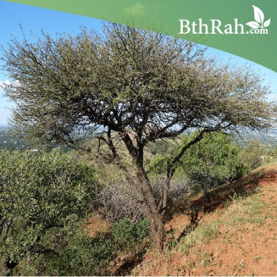 بذور شجرة القرض - Acacia arabica /Acacia nilotica