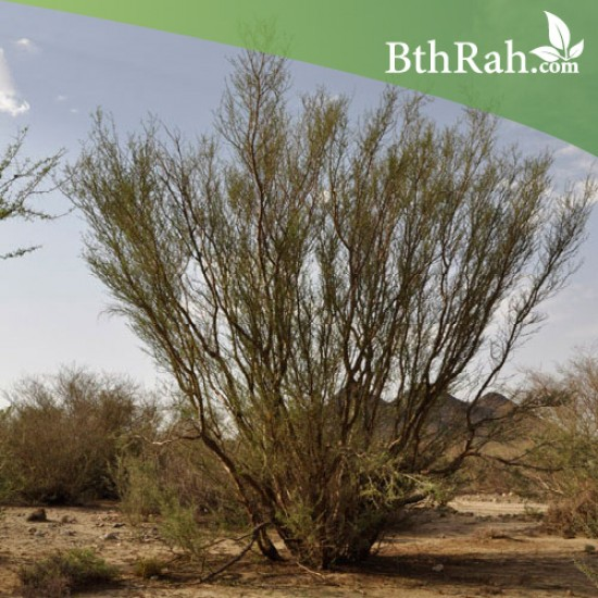 بذور شجرة السلم - Acacia ehrenbergiana