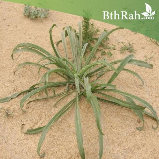 بذور عشبة الربلة - Plantago amplexicaulis