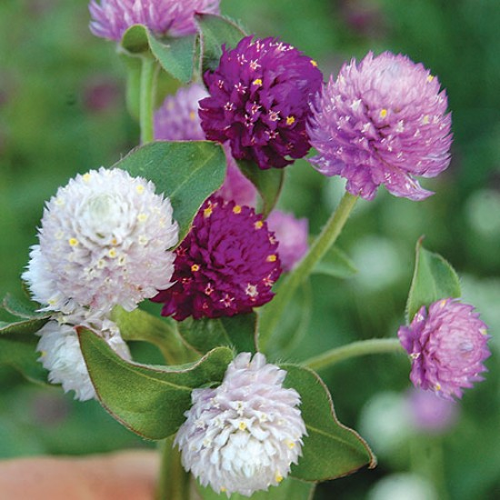 بذور زهرة الكرة الارجوانية (Gomphrena globosa)