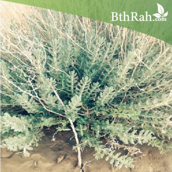 بذور عشبة البعيثران - Artemisia Judaica