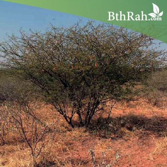 بذور شجرة الصمغ العربي - Acacia senegal