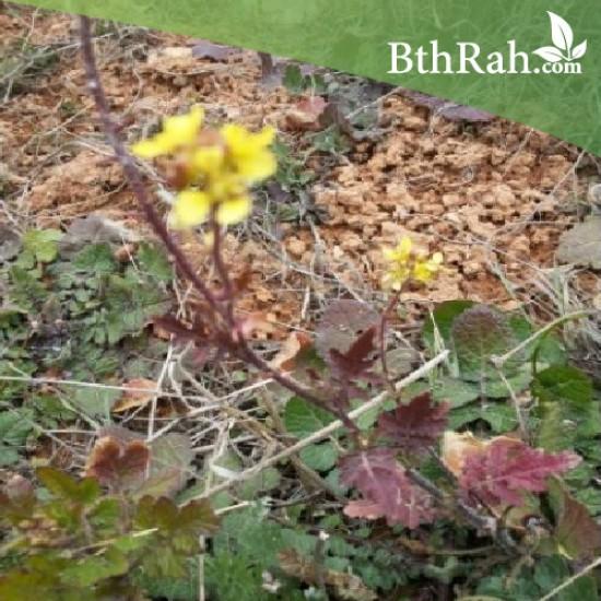 بذور عشبة الحرشاء (Brassica tournefortii Gouan)