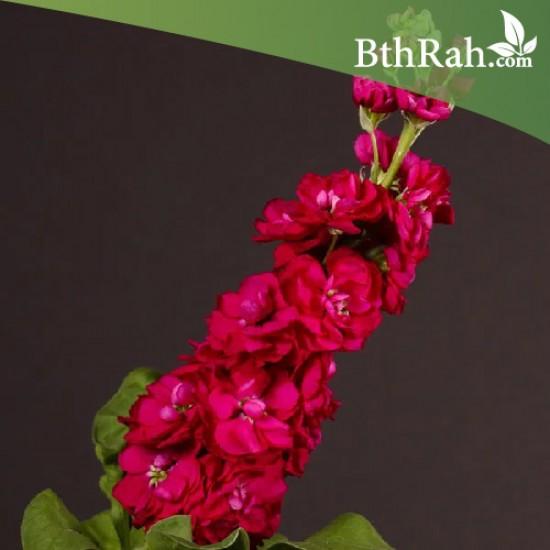 بذور زهرة المنثور الأحمر ( Matthiola )