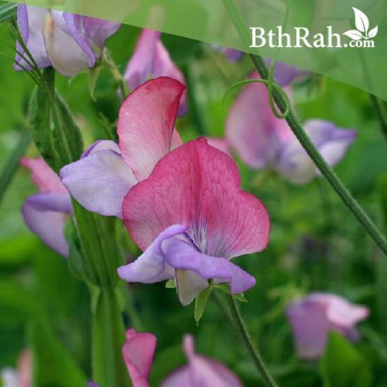 بذور زهرة بسلة الزهور ( Lathyrus odoratus )