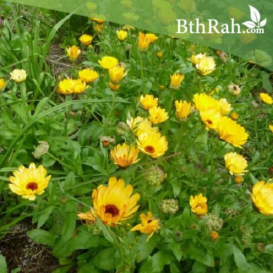 بذور أذريون-اقحوان - calendula officinalis