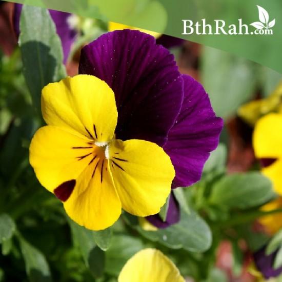 بذور زهرة بنفسج الثالوث (Viola tricolor)