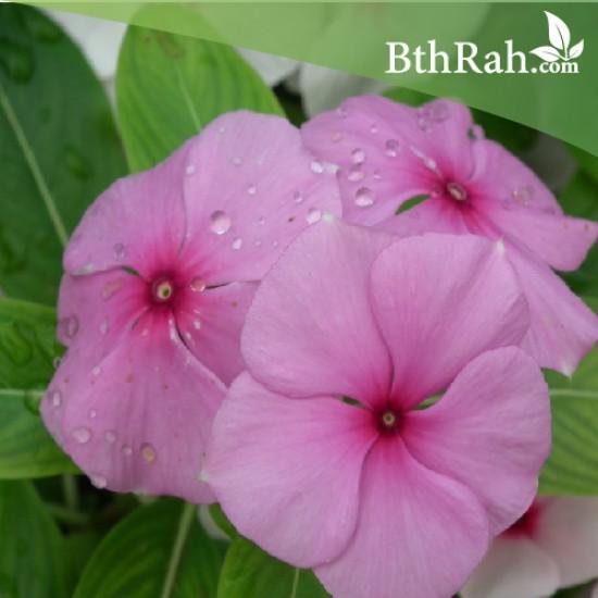 بذور زهور البفتة - Vinca Rosea