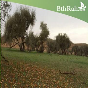 بذور شجرة السدر البري (RHAMNUS)
