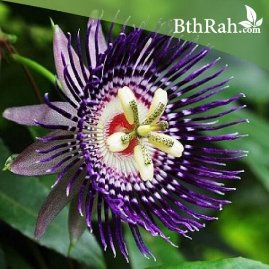 متسلقة زهرة الساعة - Passiflora caerulea