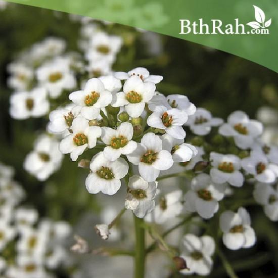 بذور زهور الأليسم - Lobularia maritima