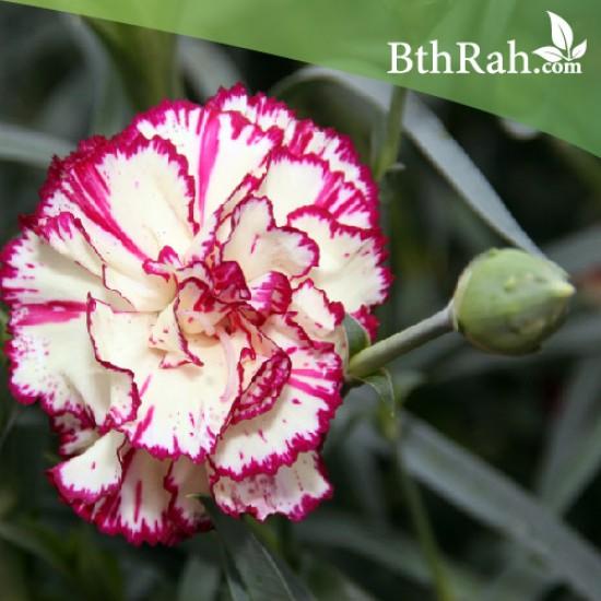 بذور زهور قرنفل جانيت  (Dianthus caryophyllus)