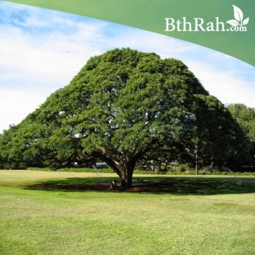 بذور شجرة المظلة ( Samanea saman  )