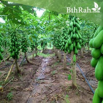 بذور البابايا التايلندية (Carica papaya)