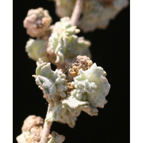 بذور الرغل ( القطف ) Atriplex leucoclada