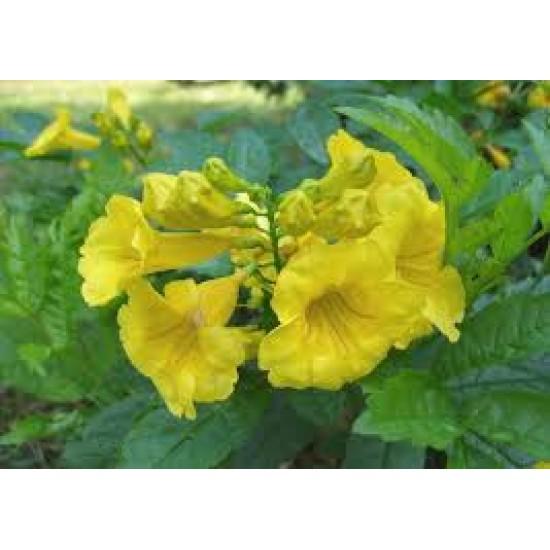 50 بذرة من بذور  شجرة التيكوما ستانس   Tecoma Stans Seeds