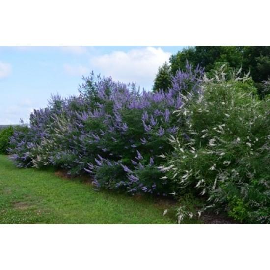 بذور شجرة كف مريم او الفيتكس - Vitex agnus