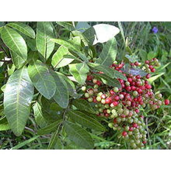 بذور شجرة الفلفل - عريض الأوراق - Schinus terebinthifolius
