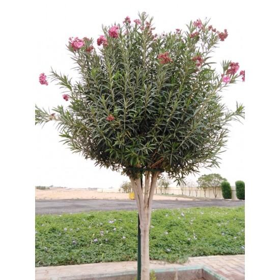بذور الدفلى ( الدفلة ) Nerium oleander