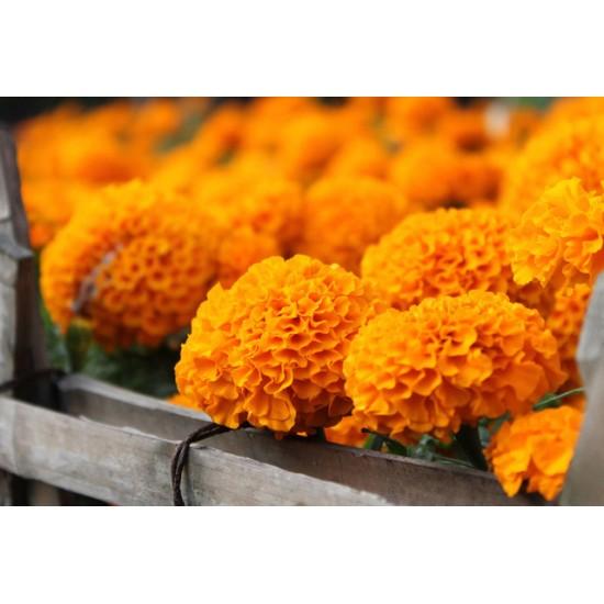 بذور زهرة القطيفة (marigold)
