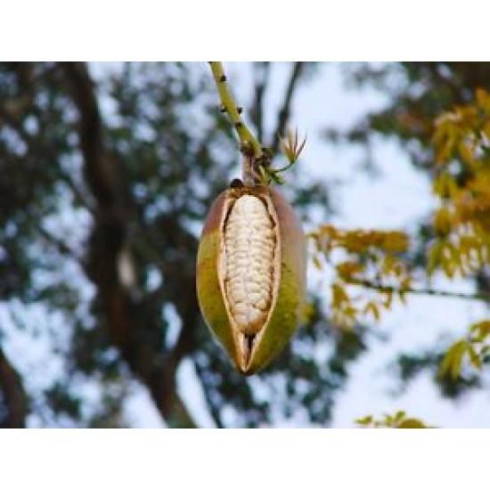 بذور شجرة الكابوك - Ceiba pentandra
