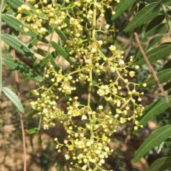 بذور شجرة الفلفل - رفيع الأوراق - Schinus molle