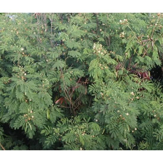 بذور شجرة اللوسينيا - Leucaena leucocephala