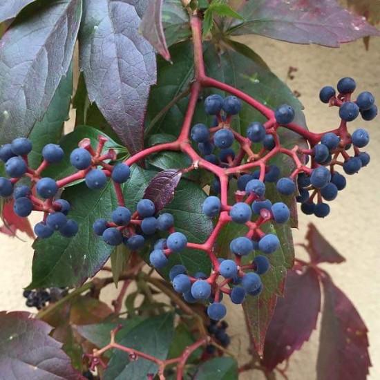 بذور متسلقة فرجينيا - Parthenocissus quinquefolia
