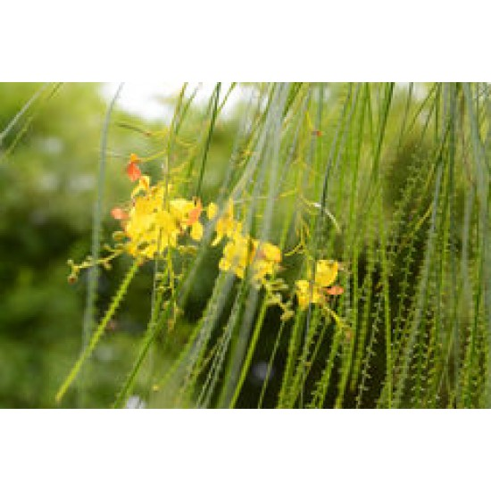 بذور شجرة الباركنسونيا - Parkinsonia Aculeata